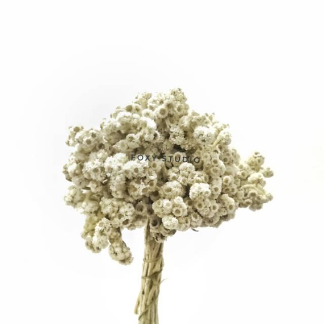 Bunga Edelweis Putih Bunga Abadi Edelweis Edelweis Bromo Shopee Indonesia