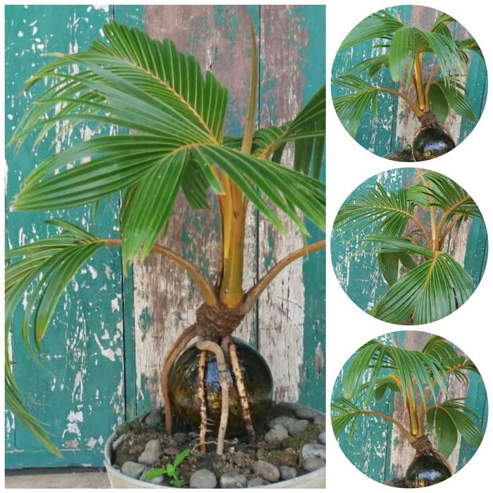 Bonsai kelapa genjah unik