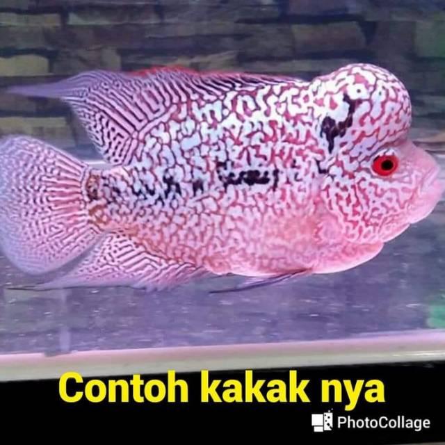 Anakan Ikan Louhan Sortiran Golden Base X Cencu Series Full Mutiara Ukuran 4 Cm Shopee Indonesia