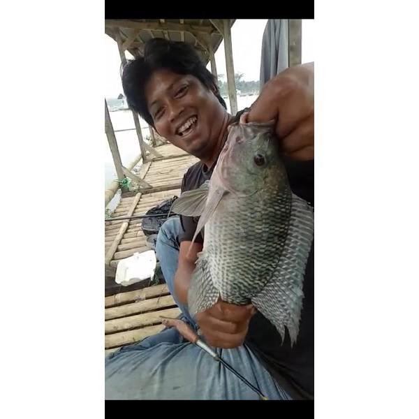 Essen Ikan Nila Umpan Lumut Di Danau Essen Jitu Ikan Nila Babon Mancing Aroma Chery Raja Kroto Shopee Indonesia