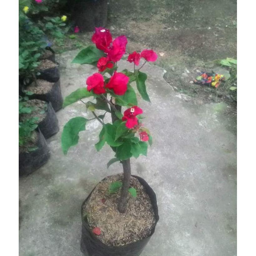 Bibit Bunga Kertas 3 Warna Atau Bugenvil Shopee Indonesia