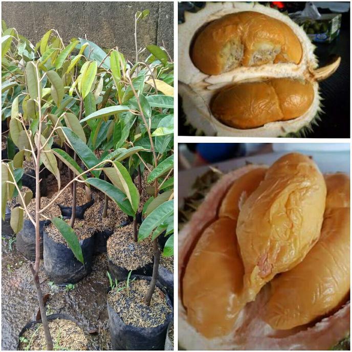 Durian Duri Hitam Harga