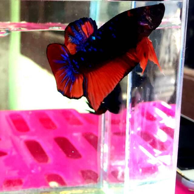 Ikan Cupang Avatar Nemo Shopee Indonesia