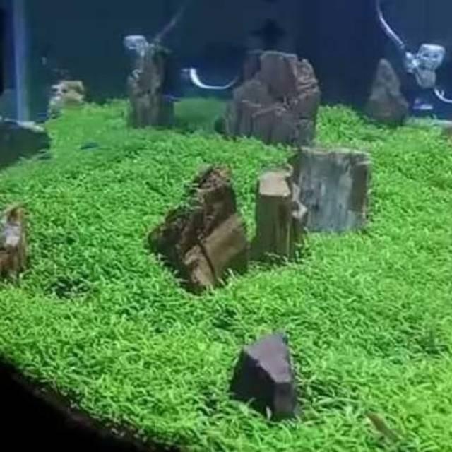 Bibit benih tanaman air carpet seed aquascape aquarium ...