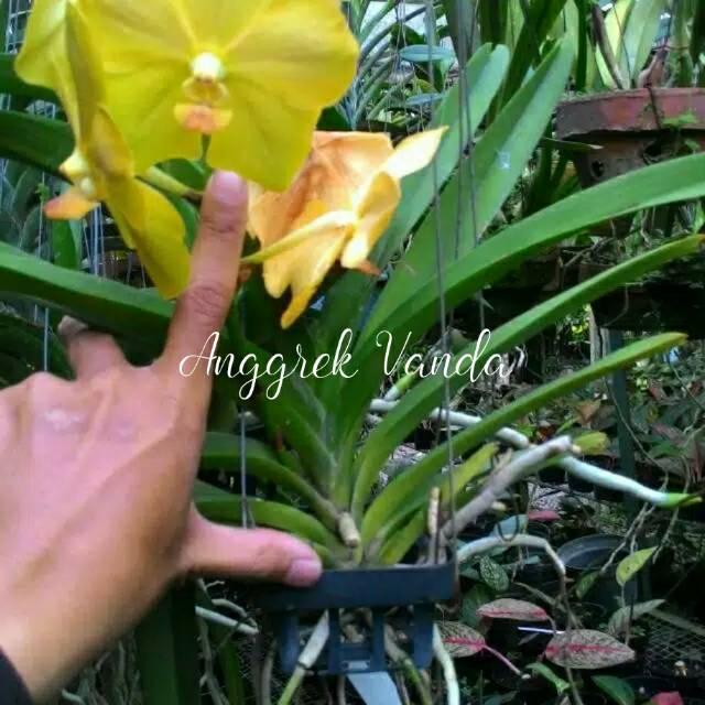 Anggrek Vanda Dewasa Bunga Besar Remaja Shopee Indonesia