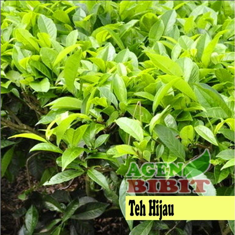 Bibit Pohon Daun Teh Hijau Tanaman Herbal Shopee Indonesia