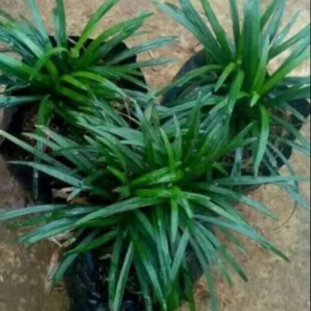 Tanaman Hias Kucai Mini Rumput Kucai Shopee Indonesia