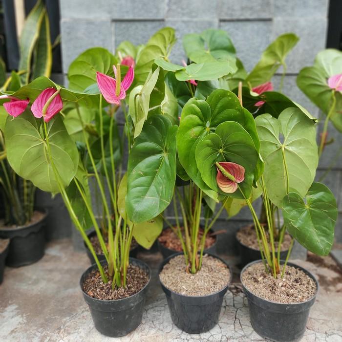 DISKON Anthurium Andraeanum / Anthurium Bunga Merah / Anthurium