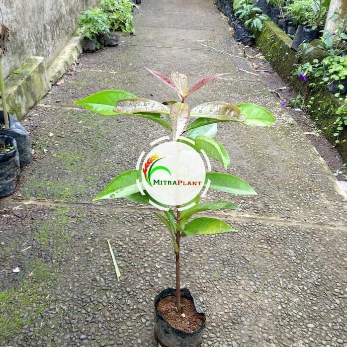 Spg Bibit Pohon Jambu Jamaika Buah Jambu Jamaika Tanaman Jambu Bol Merah Shopee Indonesia