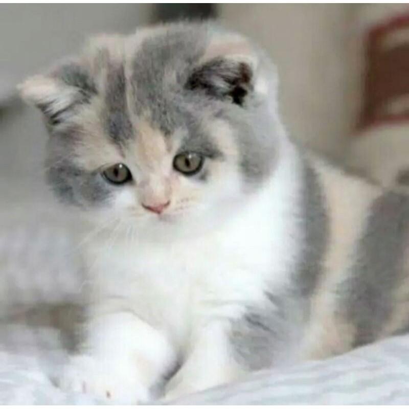 Dijual Kucing Anggora