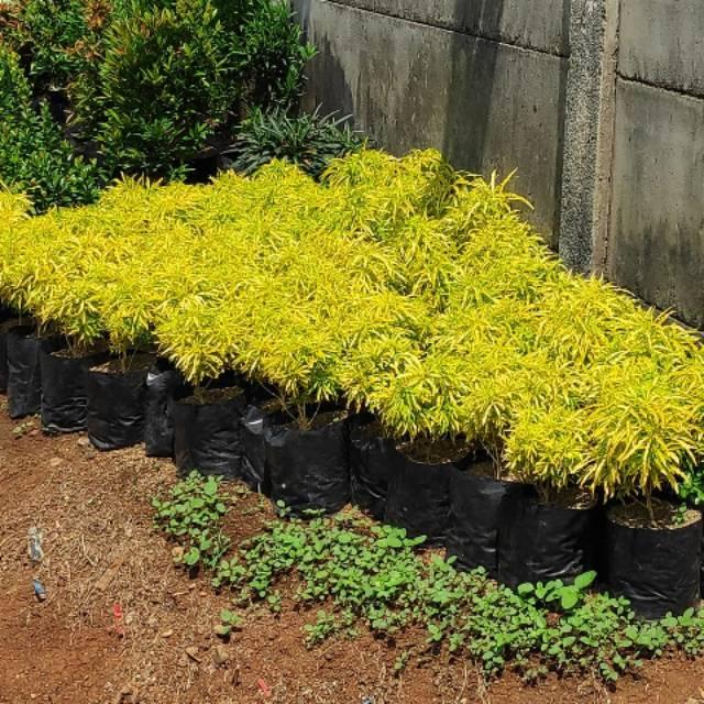 Tanaman Hias Brokoli Kuning Tanaman Perdu Shopee Indonesia