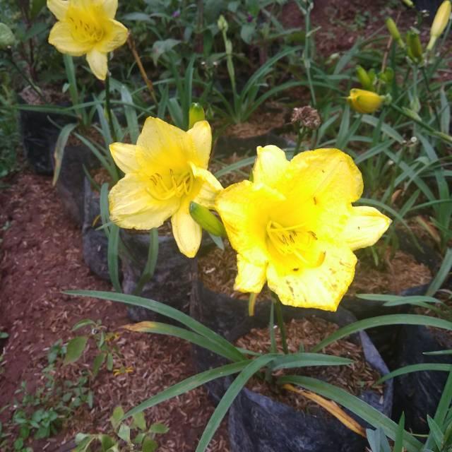 Tanaman Hias Bunga Amarilis Kuning Shopee Indonesia