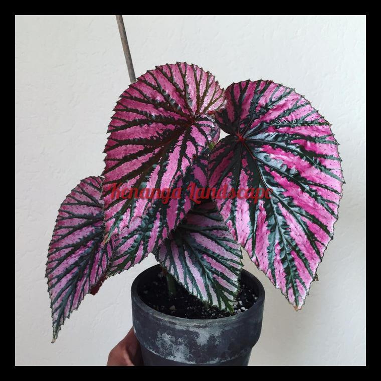 Termurah Begonia Walet / Begonia Brevirimosa - Tanaman Hias Begonia Walet