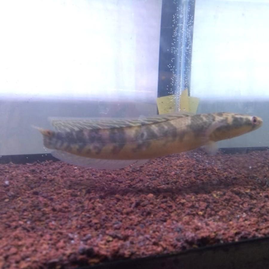 Channa Chana Maru Yellow Sentarum YS / Ikan Gabus (15-17 Cm)