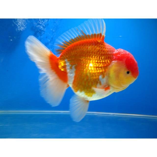 Ikan Hias Air Tawar Mas Koki Oranda Uk Medium Aquarium Aquascape Shopee Indonesia