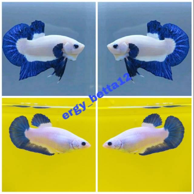 Ikan Cupang Blue Rim Import Sepasang 1 Pair Shopee Indonesia