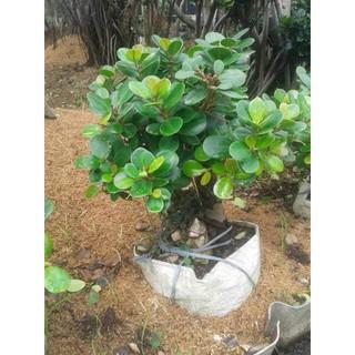 Limited Jual Pohon Beringin Korean Bonsai Mini