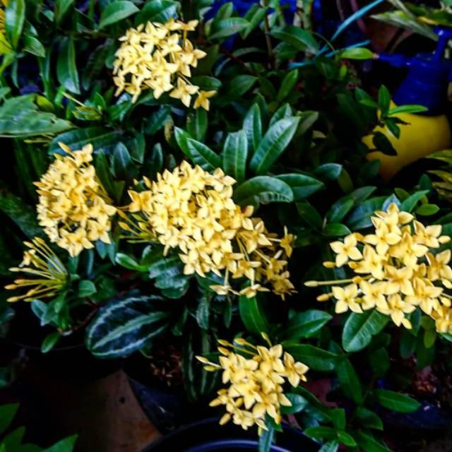 Tanaman Hias Bunga Flame Wood Bunga Asoka Kuning Shopee Indonesia