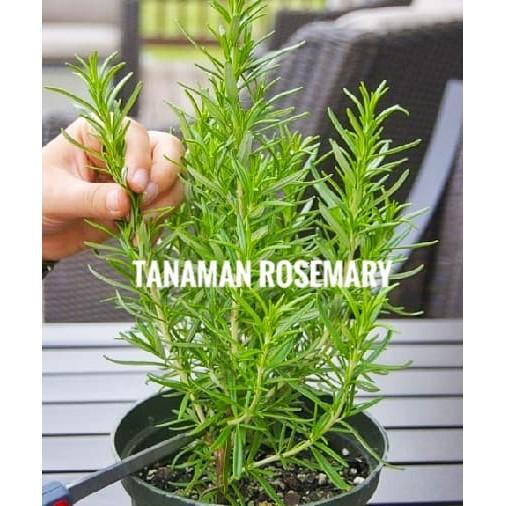 Tanaman Toga Herbal Bibit Rosemary Rosmarin Shopee Indonesia