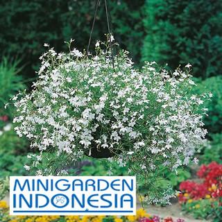 60 Benih Bunga LOBELIA White fountain Mr Fothergills F1 bibit tanaman hias