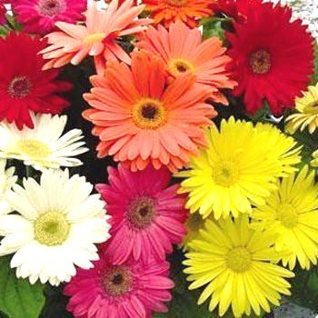 Amefurashi Benih / Bibit / Seeds Bunga Gerbera Daisy Import Flower | Shopee Indonesia