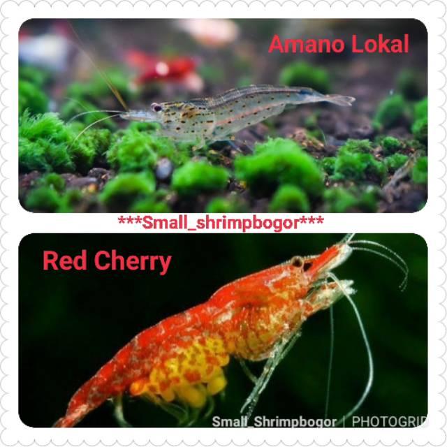 Aquascape Udang Hias Murah Paket 2 Jenis Amano Dan Red Cherry Masing Masing 30 Ekor Total 60 Ekor Shopee Indonesia
