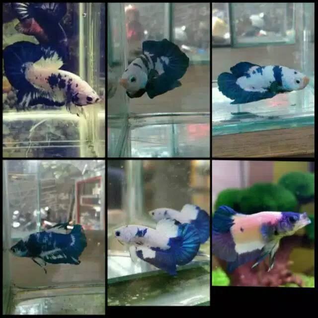 Ikan Cupang Blue Rim Panda Shopee Indonesia