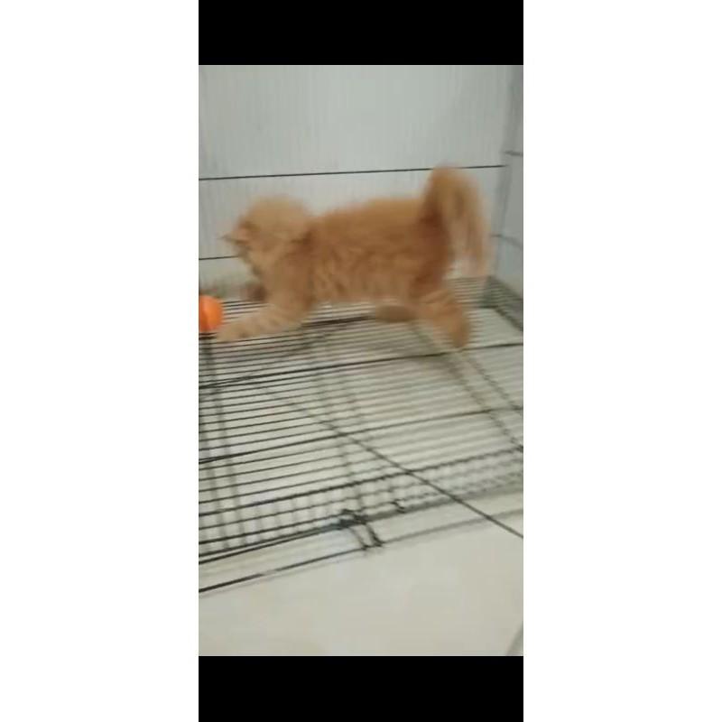 promo termurah       kucing Persia Oren / kucing Persia jantan / kucing Persia  / kucing anggora /