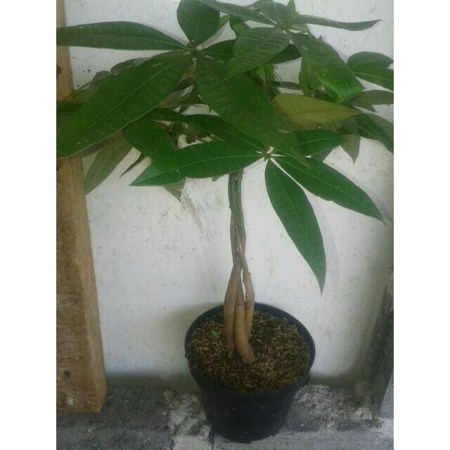 Tanaman Hias Pachira Aquatica Kepang 3 Pohon Keberuntungan Money Tree Pohon Uang Shopee Indonesia