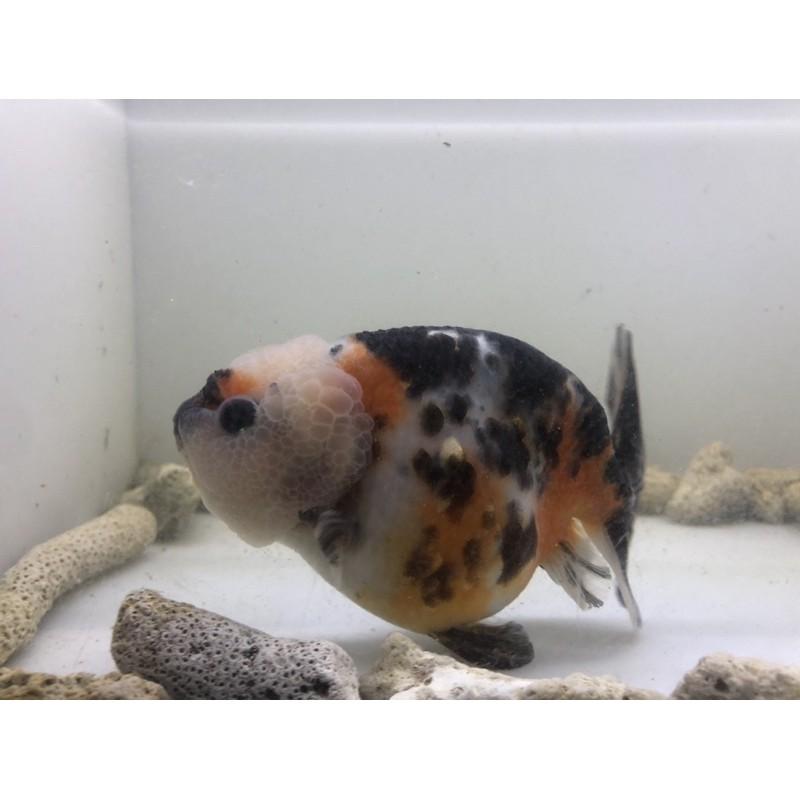 Ikan Mas Koki Ranchu Sapi Cow