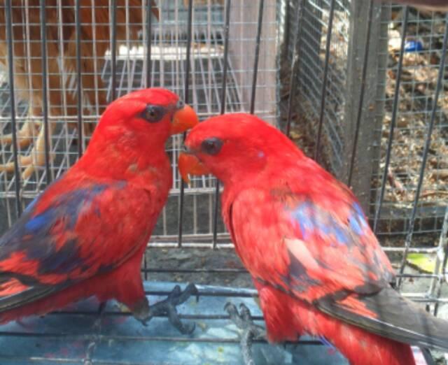 Nuri Red Lory Shopee Indonesia