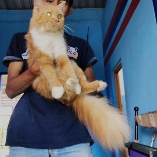 Kucing Jenis Maine Coon Mix Persia Shopee Indonesia
