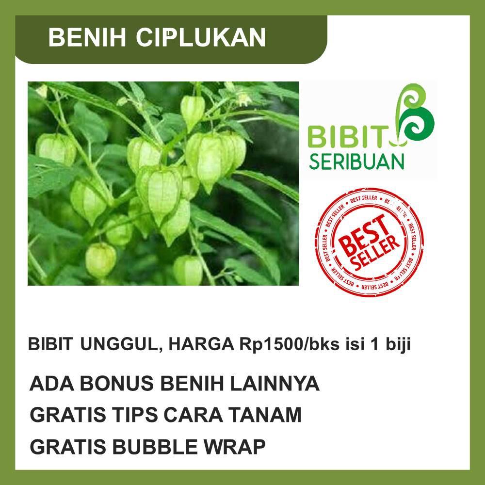Amefurashi Benih Bibit Seed Ciplukan Jumbo Cecendet Daftar Harga Herbs Catnip Common Haira Biji Berkualitas Unggul Murah Shopee Indonesia