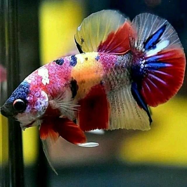 Cupang Plakat Nemo Ikan Hias Cupang Nemo Nemo Klasik Nemo Galaxy Nemo Koi Multicolor Shopee Indonesia
