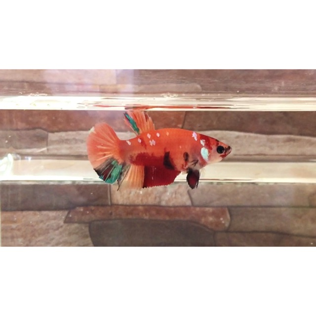 Ikan Cupang Nemo Betina Orange Base Multy Shopee Indonesia