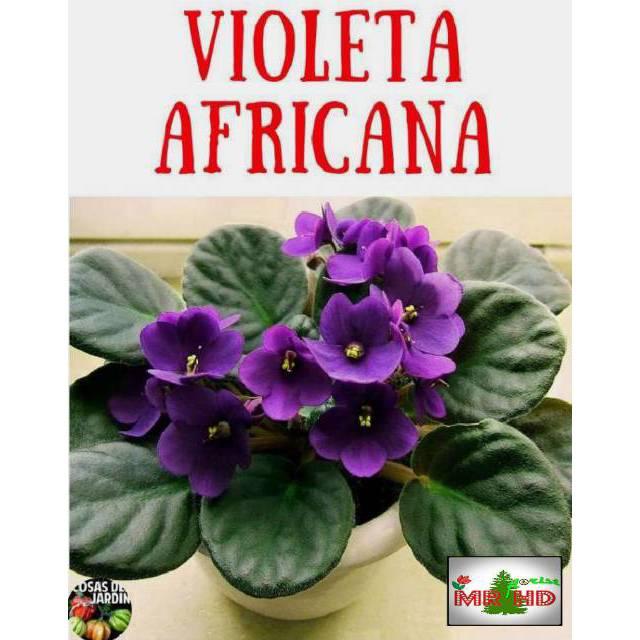 Tanaman Hias African Violet Shopee Indonesia