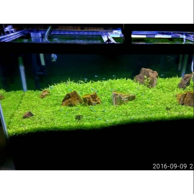bibit benih tanaman air mini Hair Grass seed aquascape aquarium | Shopee Indonesia