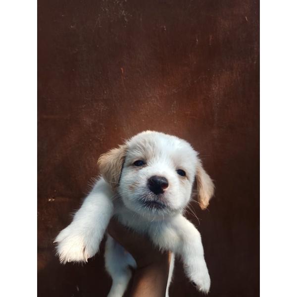 jual anjing golden mix samoyed