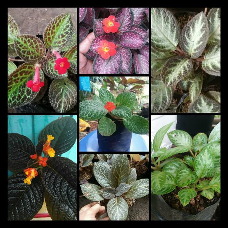 Tanaman Gantung Episcia 7 Jenis 1 Paket Begonia Bludru Shopee Indonesia