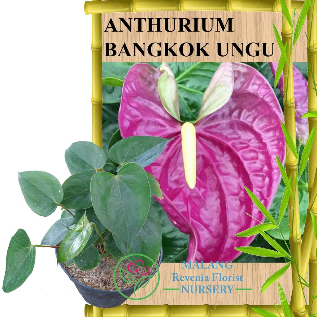 Tanaman Anthurium Bangkok Ungu Shopee Indonesia