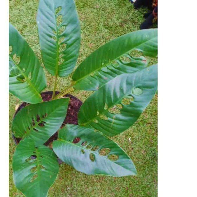Paling Dicari Rhaphidophora Foraminipera Duda Bolong Shopee Indonesia