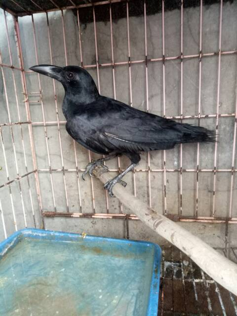 Burung Gagak Anakan Shopee Indonesia