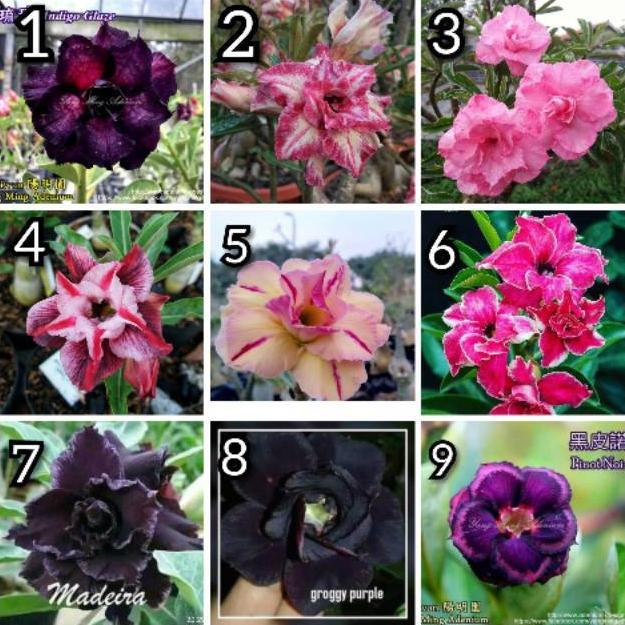 Big Sale 2020 Bibit Bunga Adenium Bunga Tumpuk Terbaru Impor Murah Adenium Bunga Tripel Kamboja Jepa Shopee Indonesia