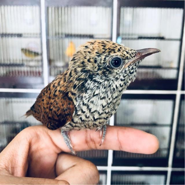 Analan Burung Kedasih Anak Burung Kedasi Shopee Indonesia