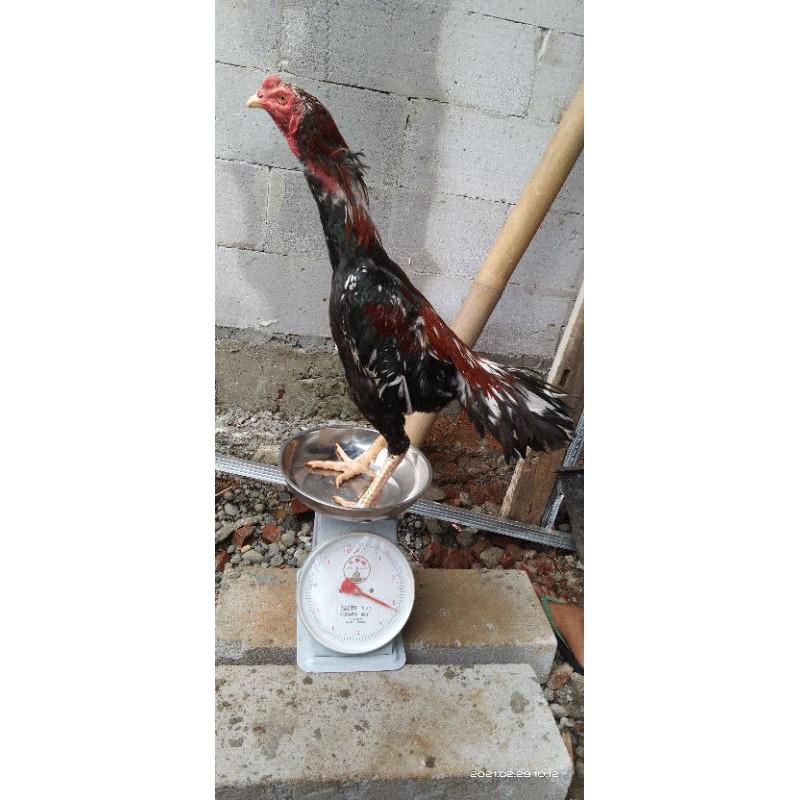 Ayam Madras Aseel X Biang Bangkok Pukul Saraf KO