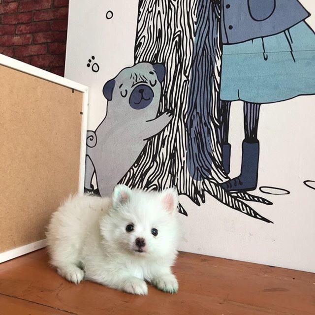 Jual Anjing Mini Pom Shopee Indonesia