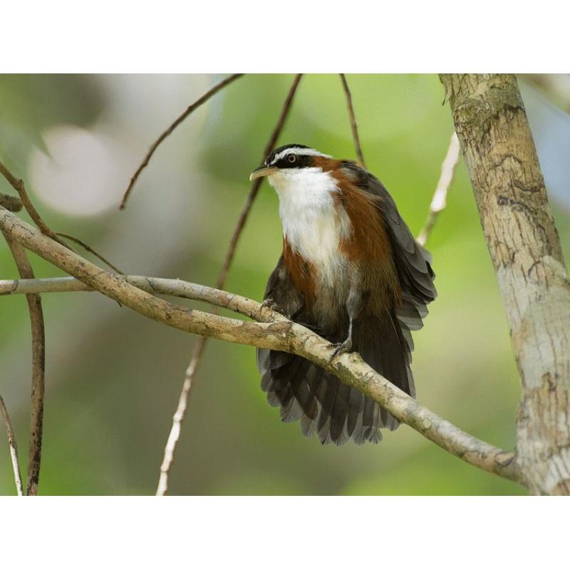 Burung Cucak Kopi Kopi Shopee Indonesia