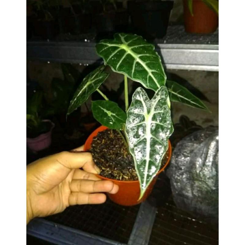 tanaman hias keladi amazon/ keladi amazon