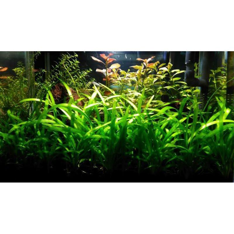 Paket Stemplant Low Light Low Co2 Tanaman Aquascape Shopee Indonesia