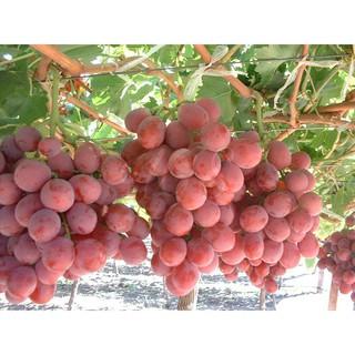 63+ Gambar Anggur Red Globe Terbaik